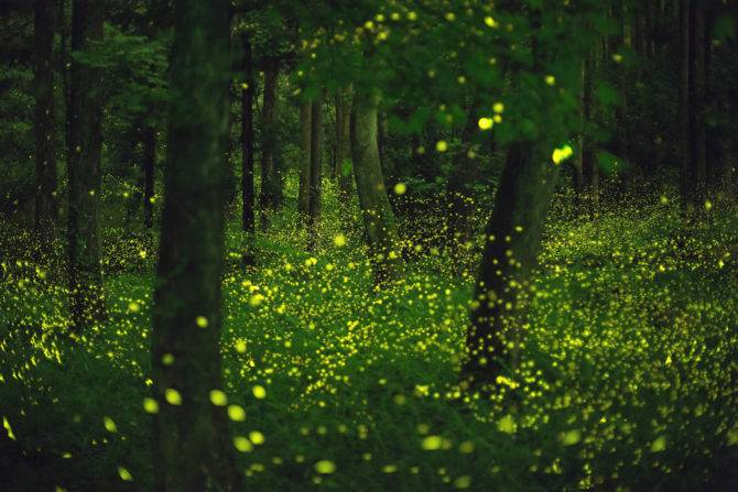 Hime fireflies in a forested area