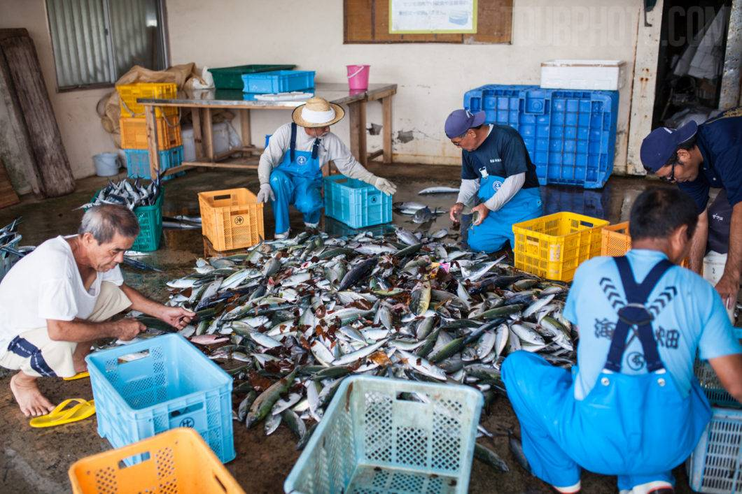 Fish are separated into species by the fishermen.